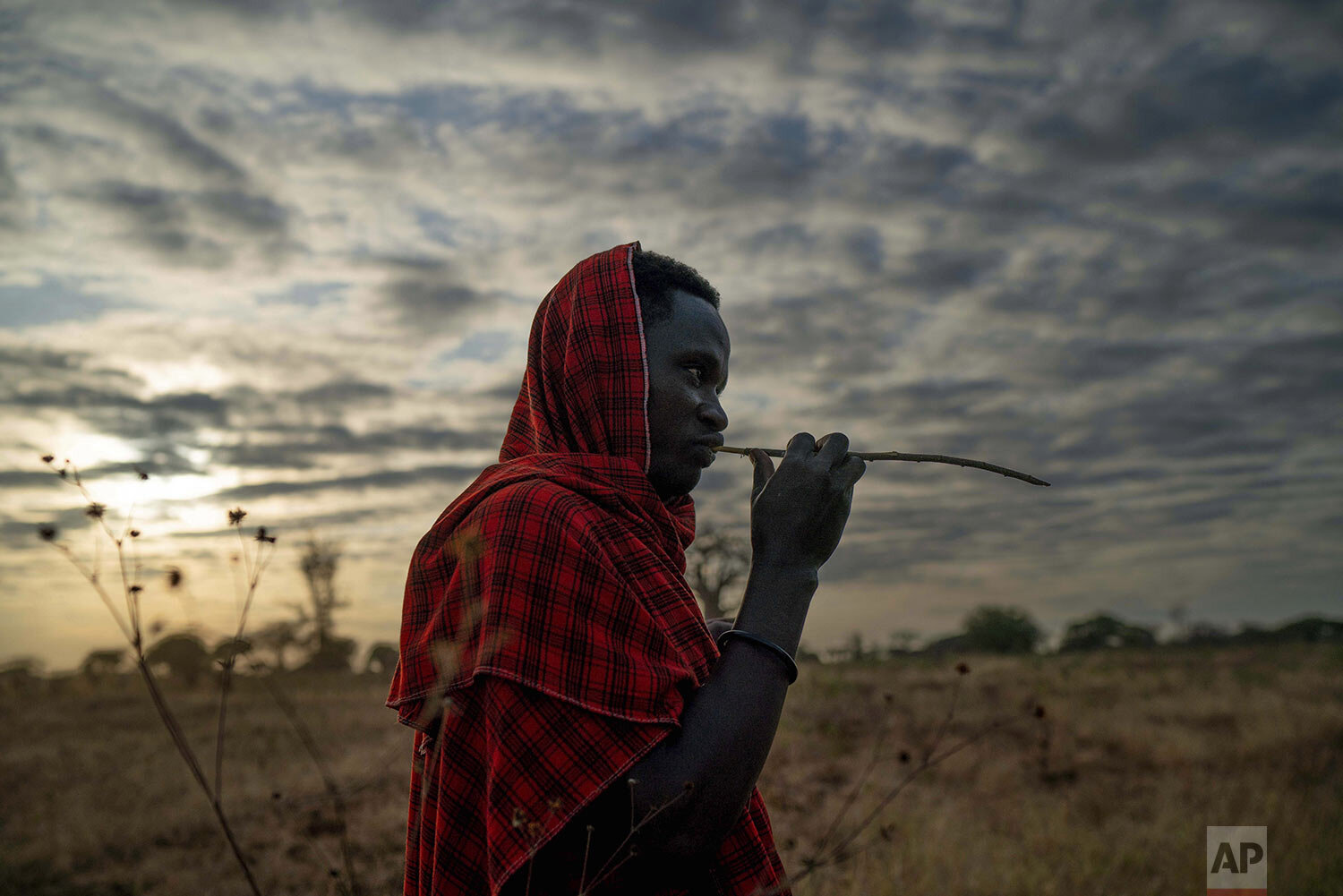 Saitoti Petro, brushes his teeth with a stick before taking his herd to the fields in the village of Narakauwo, Tanzania, Thursday July 4, 2019. (AP Photo/Jerome Delay)