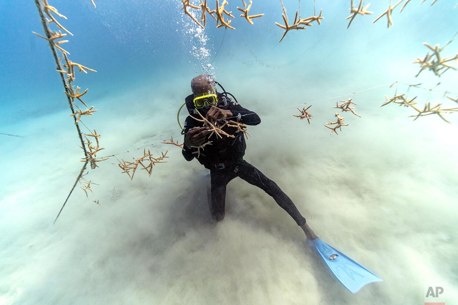 Diver Everton Simpson untangles lines of staghorn coral at a coral nursery inside the White River Fish Sanctuary Monday, Feb. 11, 2019, in Ocho Rios, Jamaica. On the ocean floor, small coral fragments dangle from suspended ropes, like socks hung on a laundry line. Divers tend to this underwater nursery as gardeners mind a flower bed _ slowly and painstakingly plucking off snails and fireworms that feast on immature coral. (AP Photo/David J. Phillip)