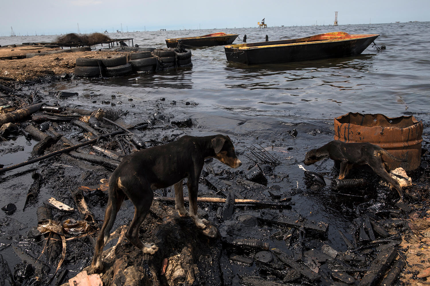 Dogs search for scraps of fish left behind by fishermen on the shore of Lake Maracaibo blacked by oil, near La Salina crude oil shipping terminal in Cabimas, Venezuela, May 24, 2019. (AP Photo/Rodrigo Abd)