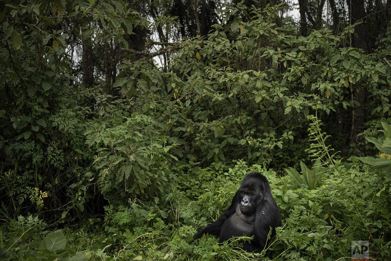 A silverback mountain gorilla called Segasira, sits in the Volcanoes National Park, Rwanda. (AP Photo/Felipe Dana)