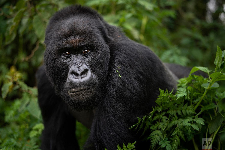 A silverback mountain gorilla named Segasira walks in the Volcanoes National Park, Rwanda. (AP Photo/Felipe Dana)