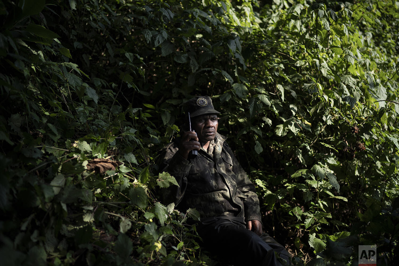 Gorilla tracker Gabriel Safari talks on the radio as he monitors gorillas of the Agasha group in the Volcanoes National Park, Rwanda. (AP Photo/Felipe Dana)