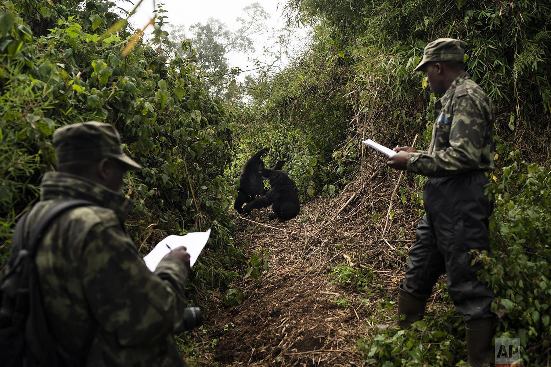 Gorilla trackers Emmanuel Bizagwira, right, and Gabriel Safari observe two gorillas of the Agasha Group as they play in the Volcanoes National Park, Rwanda. (AP Photo/Felipe Dana)
