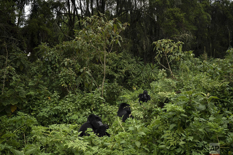 Urwibutso, Segasira and Pato, three silverback mountain gorillas eat plants in the Volcanoes National Park, Rwanda. (AP Photo/Felipe Dana)