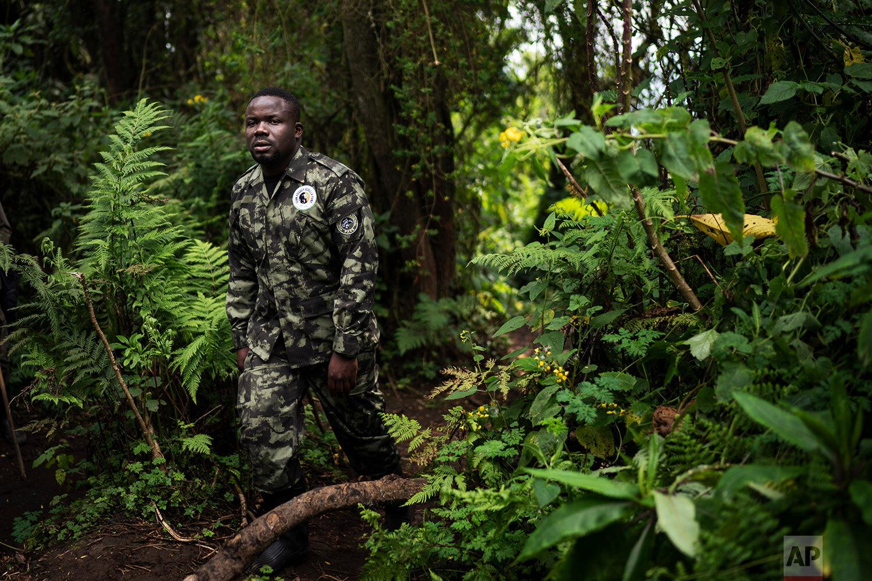 Biologist Jean Paul Hirwa walks down a trail to observe mountain gorillas in the Volcanoes National Park, Rwanda.