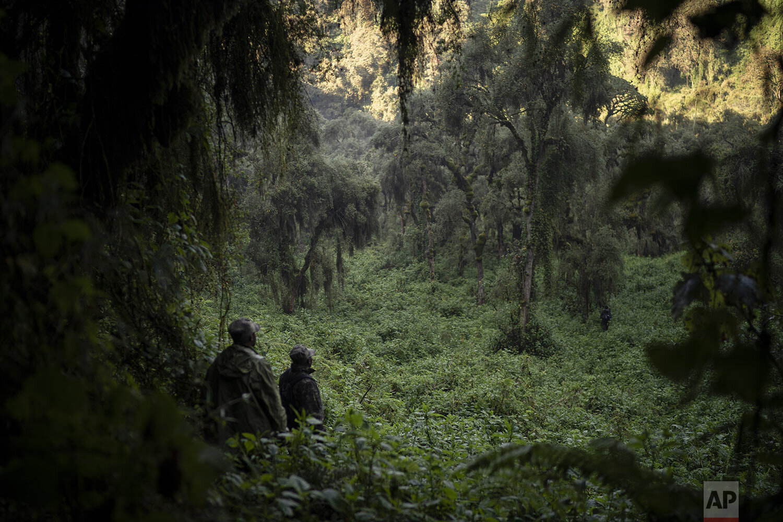 Gorilla trackers Emmanuel Bizagwira, left, and Gabriel Safari search for gorillas of the Agasha group in the Volcanoes National Park, Rwanda. (AP Photo/Felipe Dana)