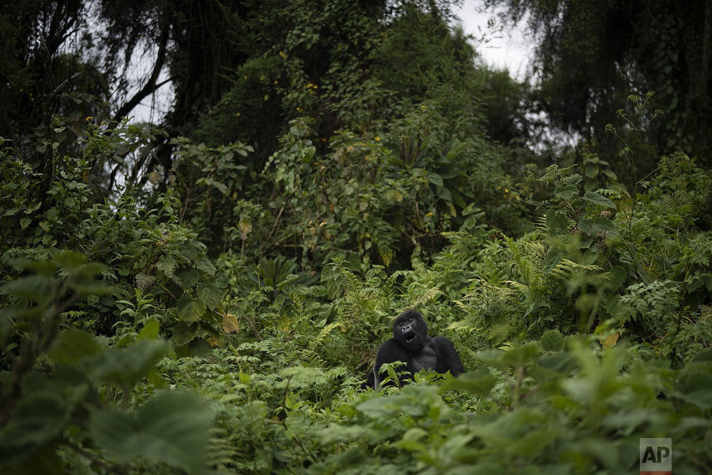 A silverback mountain gorilla called Pato, sits in the Volcanoes National Park, Rwanda. (AP Photo/Felipe Dana)