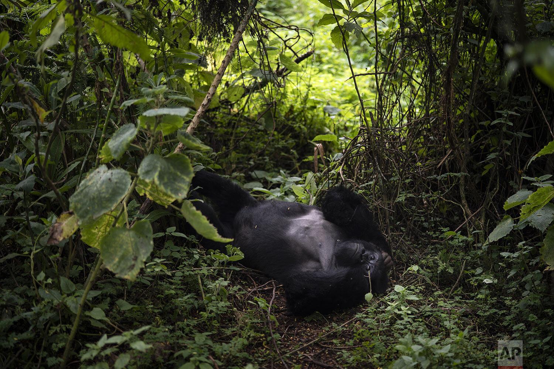Rwanda What Can Be Saved Gorillas