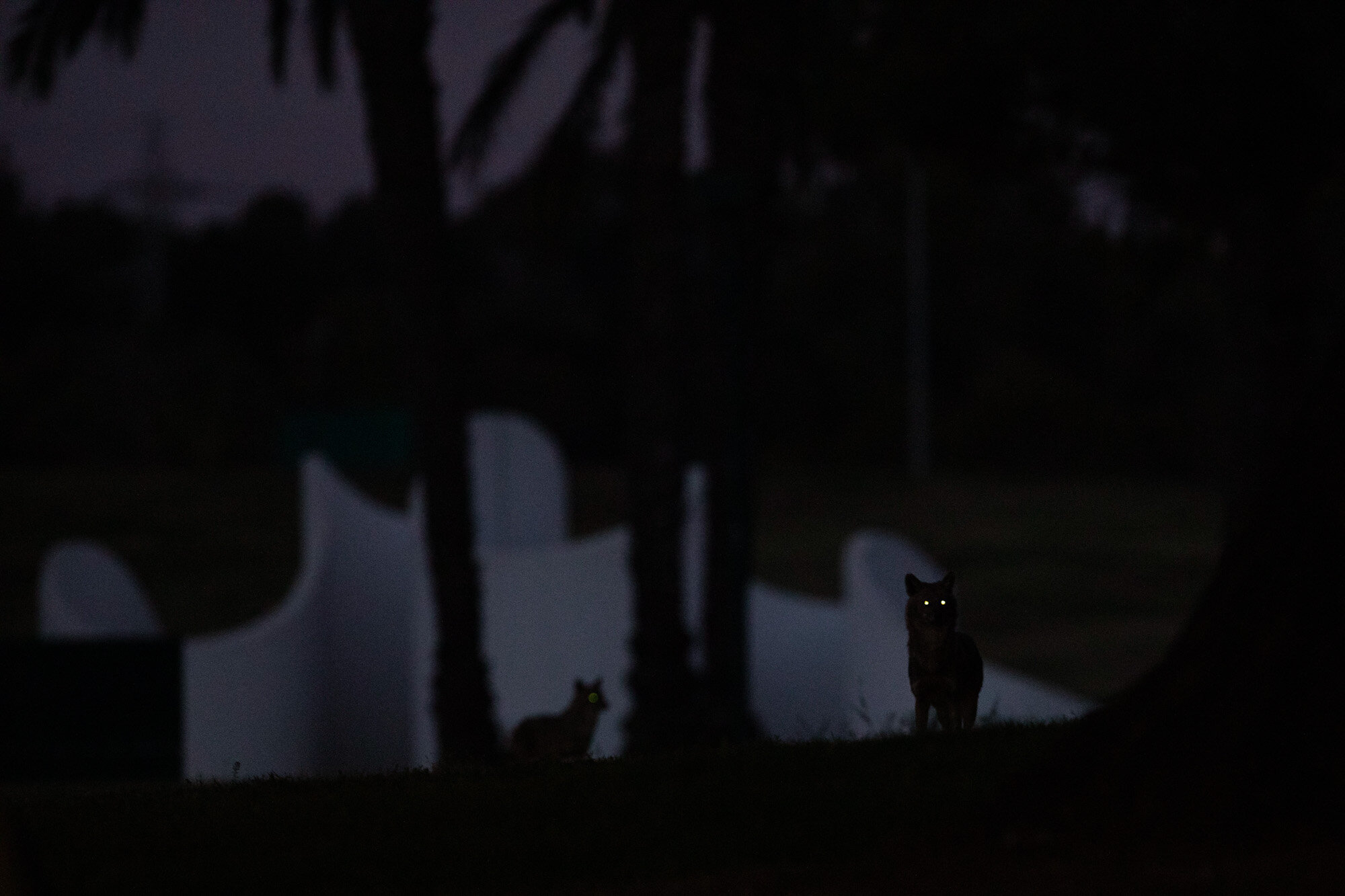 Jackals roam in the night in Tel Aviv's Hayarkon Park, which is empty as the city is in lockdown due to the coronavirus pandemic, on April 9, 2020. (AP Photo/Oded Balilty)