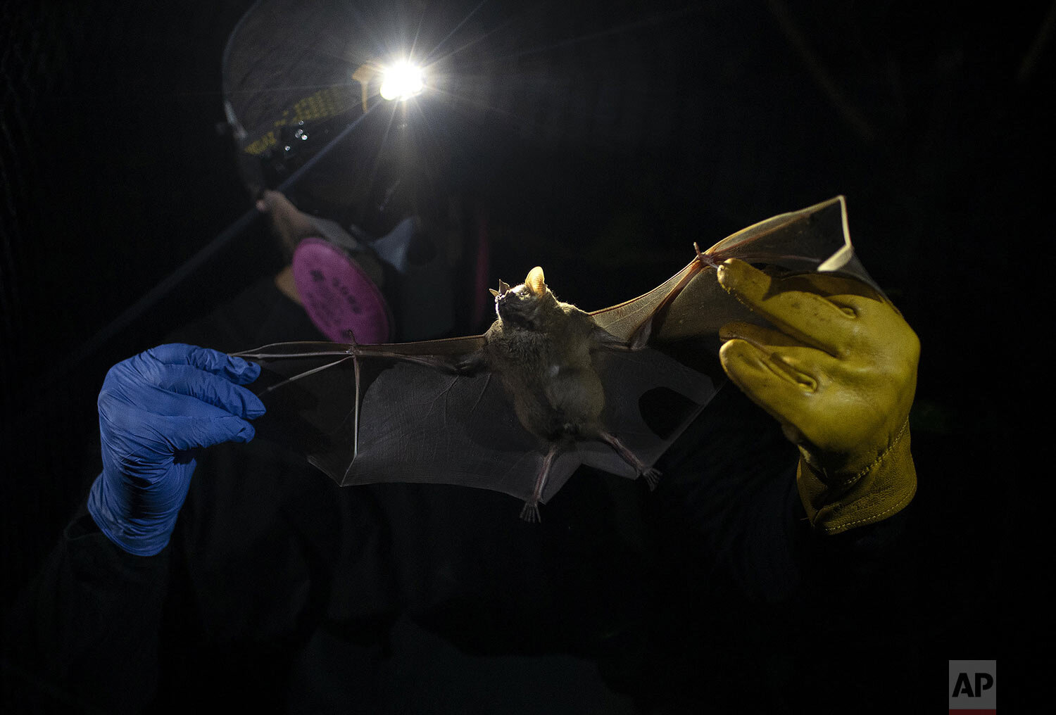 A researcher for Brazil's state-run Fiocruz Institute holds a bat captured in the Atlantic Forest, at Pedra Branca state park, near Rio de Janeiro, Tuesday, Nov. 17, 2020. Researchers at the institute collect and study viruses present in wild animals — including bats, which many scientists believe were linked to the outbreak of COVID-19.(AP Photo/Silvia Izquierdo)