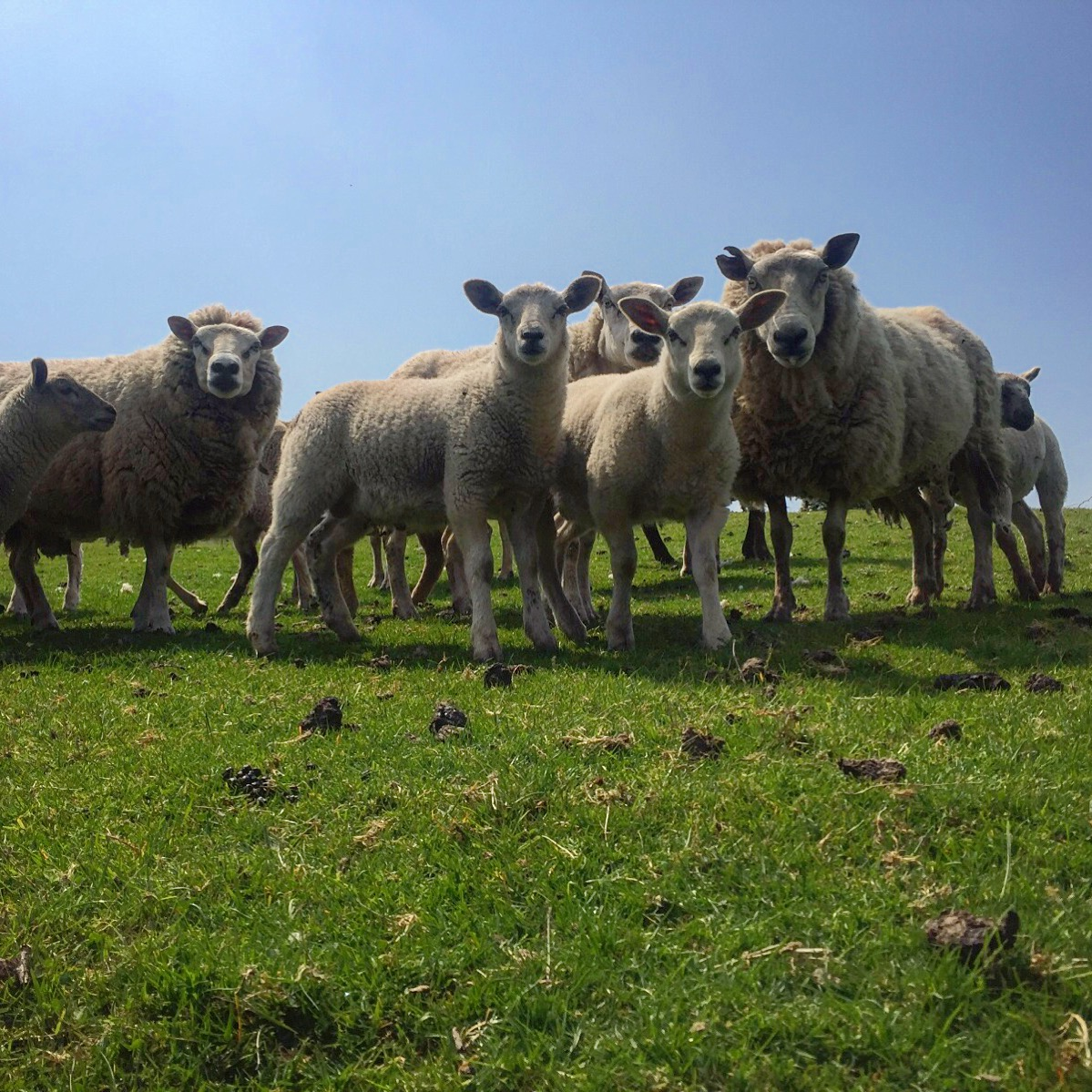 sheep_kilkeel_road_silent_valley_spelga_damn_mourne_mountains_ni_explorer_niexplorer_northern_ireland_blog.jpg
