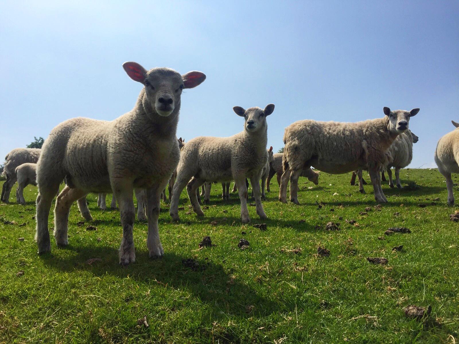 2_sheep_kilkeel_road_silent_valley_spelga_damn_mourne_mountains_ni_explorer_niexplorer_northern_ireland_blog.jpg