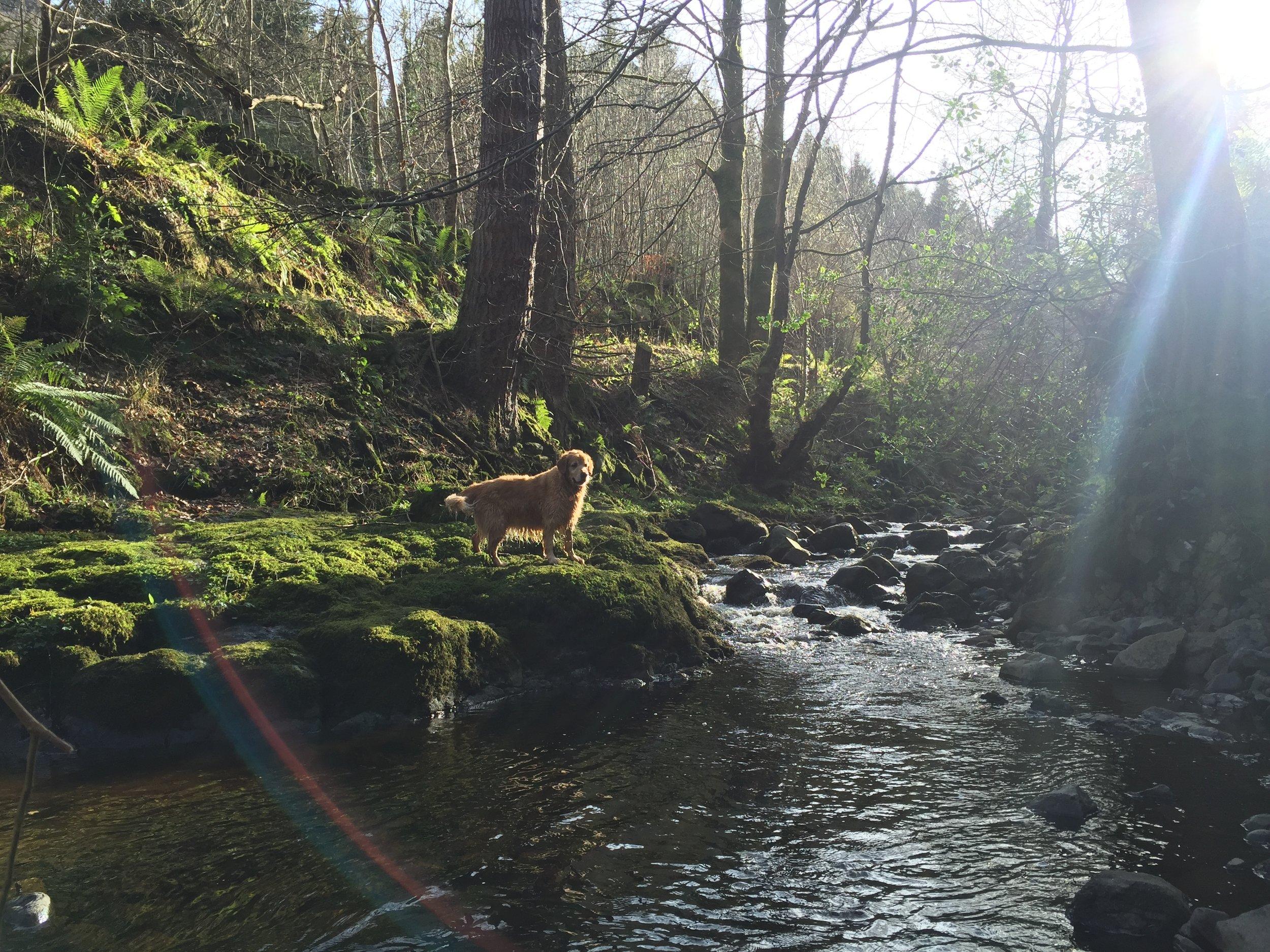 sun_river_forest_golden_retriever_glenariff_glenoe_glenarm_glens_antrim_ni_explorer_niexplorer_northern_ireland_blog.jpg