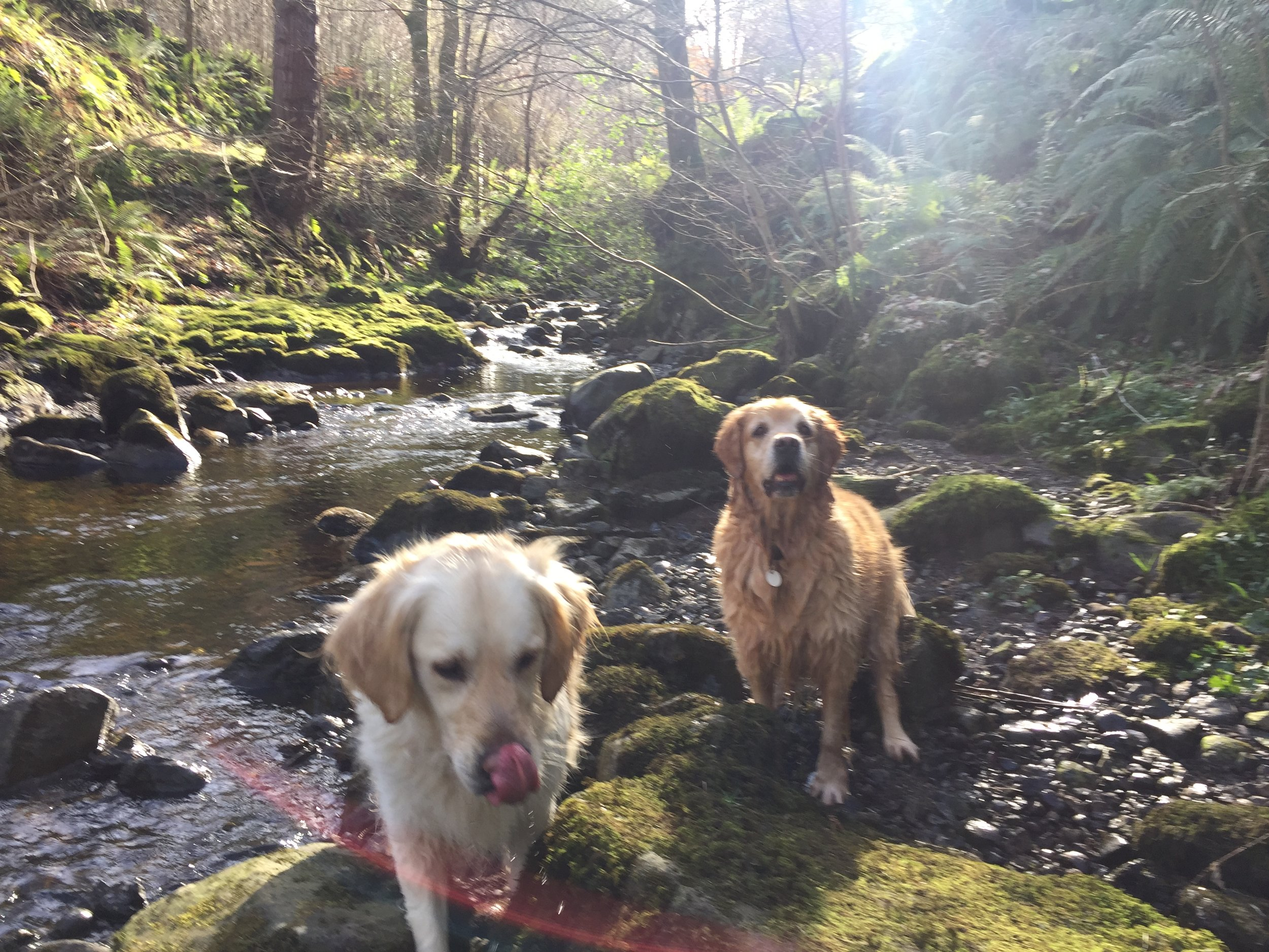 river_forest_golden_retrievers_glenariff_glenoe_glenarm_glens_antrim_ni_explorer_niexplorer_northern_ireland_blog.jpg