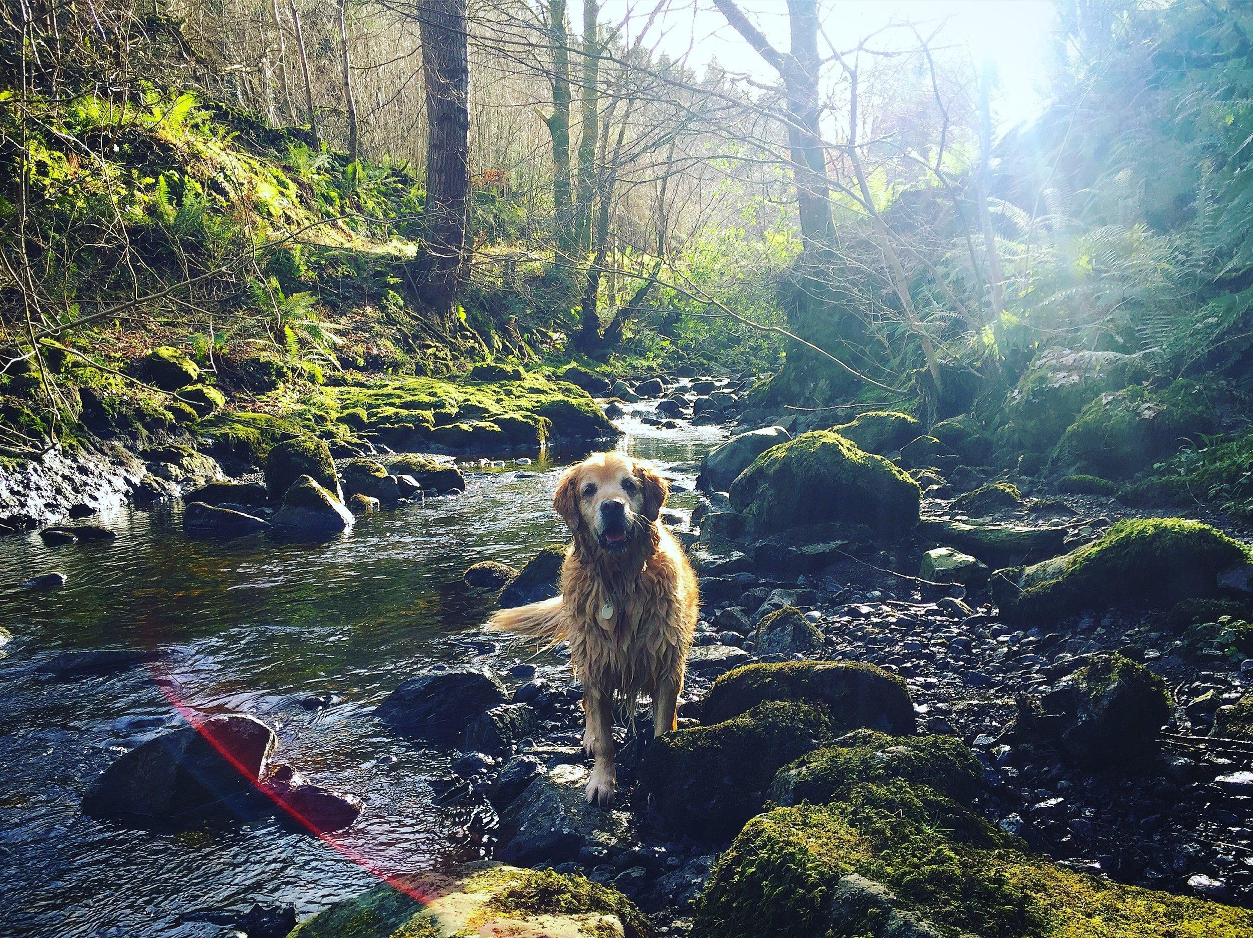 river_forest_golden_retriever_glenariff_glenoe_glenarm_glens_antrim_ni_explorer_niexplorer_northern_ireland_blog.jpg