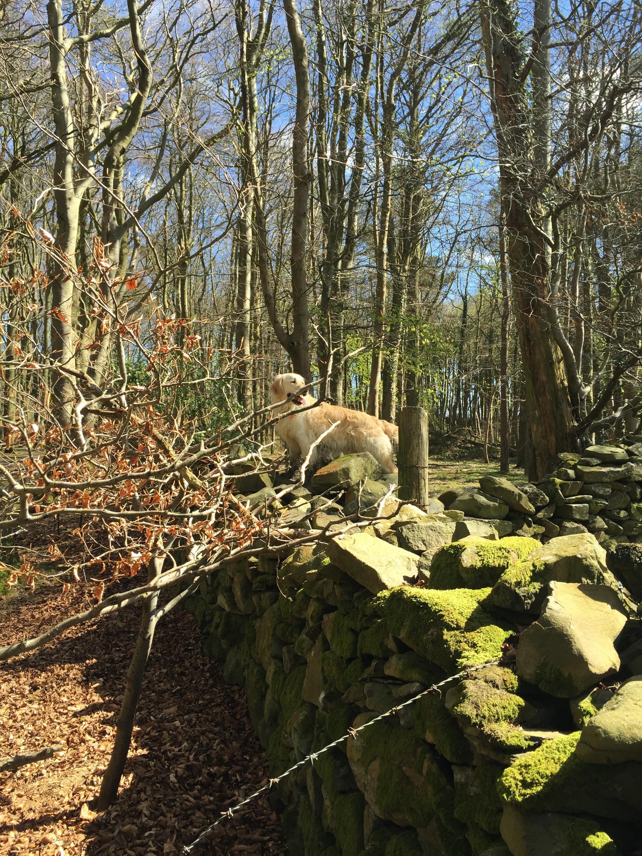 dog_wall_golden_retriver_helens_bay_to_crawfordsburn_roadtrip_coast_ni_explorer_niexplorer_northern_ireland_blog.jpg