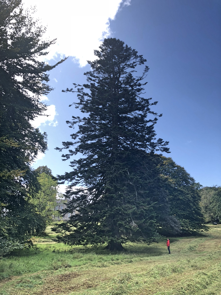 ^ A VERY tall Sequoia tree