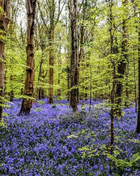 warrenpoint-narrowwater-bigwood-best-places-see-bluebells-northern-ireland (3).jpg