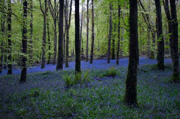 knockmanny-forest-best-places-to-see-bluebells-northern-ireland (3).jpg