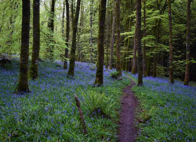 knockmanny-forest-best-places-to-see-bluebells-northern-ireland (4).jpg