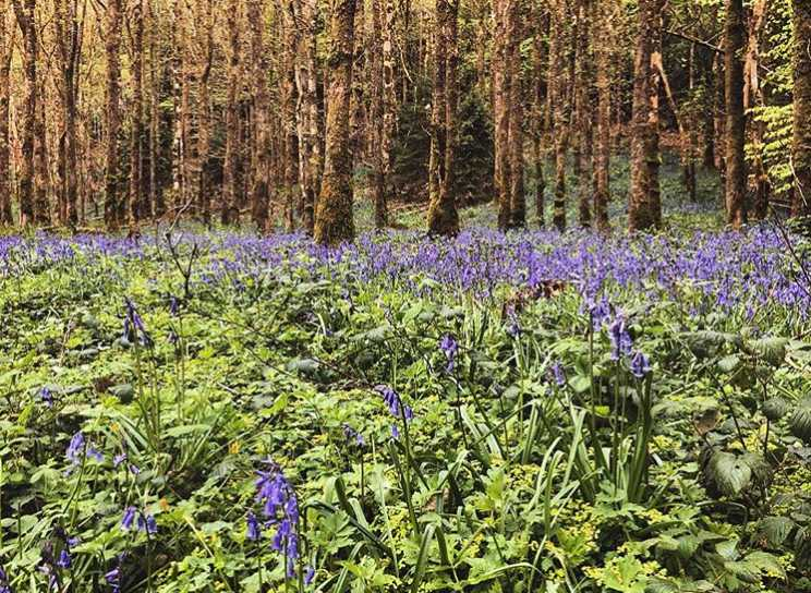 portglenone-forest-best-places-to-see-bluebells-northern-ireland (1).jpg