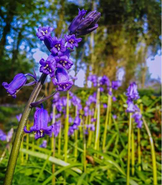 scrabo-killynether-best-places-to-see-bluebells-northern-ireland (6).jpg