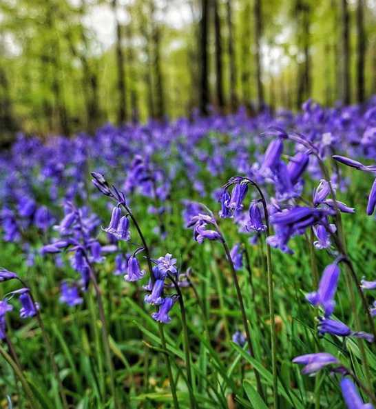 tollymore-forest-best-places-see-bluebells-northern-ireland (5).jpg