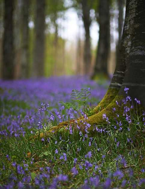 tollymore-forest-best-places-see-bluebells-northern-ireland (2).jpg