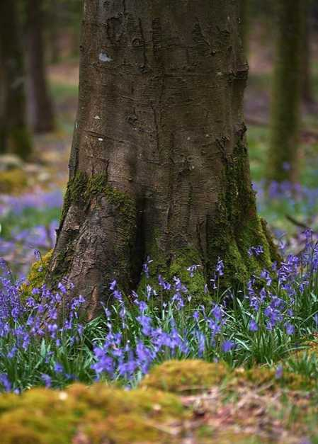 tollymore-forest-best-places-see-bluebells-northern-ireland (3).jpg