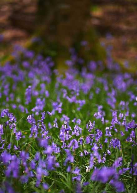 tollymore-forest-best-places-see-bluebells-northern-ireland (4).jpg
