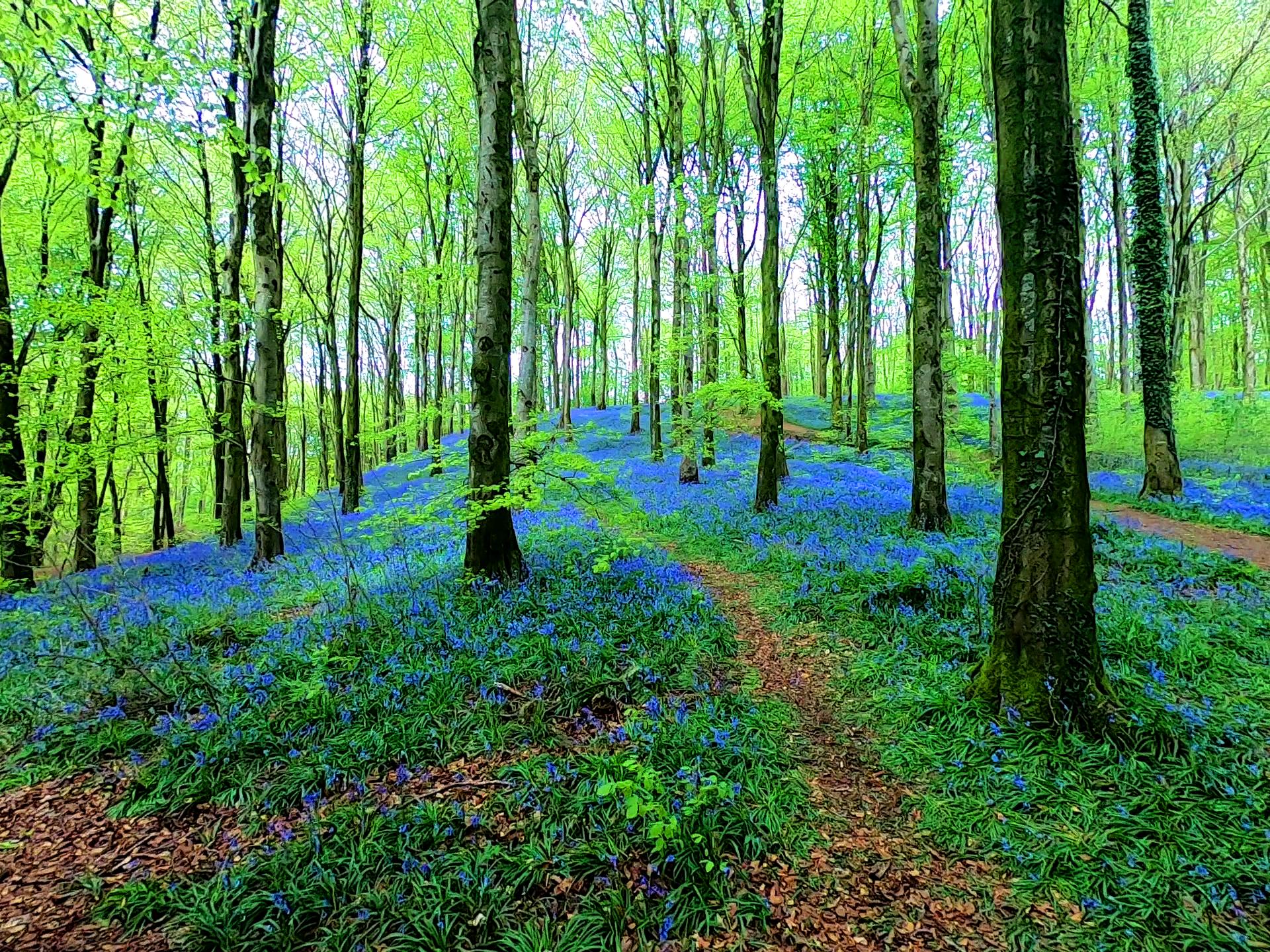 BLUEBELL TRAIL - PORTGLENONE FOREST -