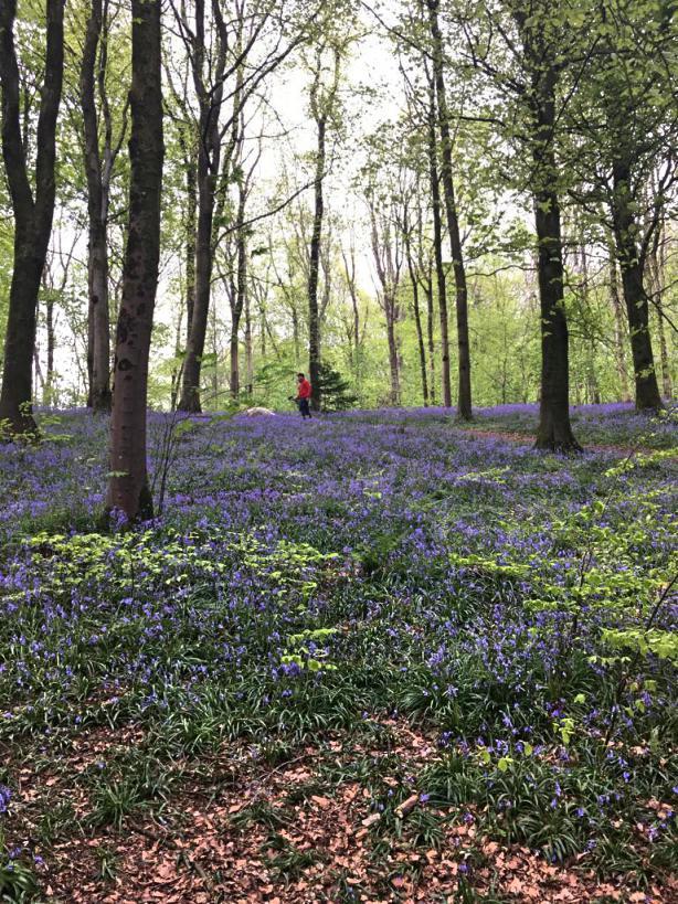 portglenone-forest-bluebells-northern-ireland10.jpg