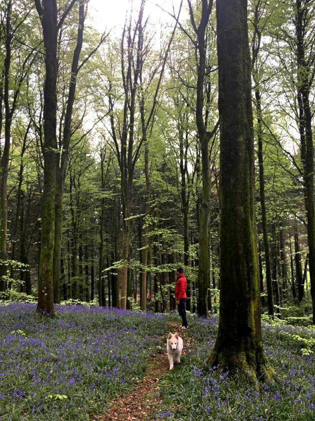 portglenone-forest-bluebells-northern-ireland4.jpg