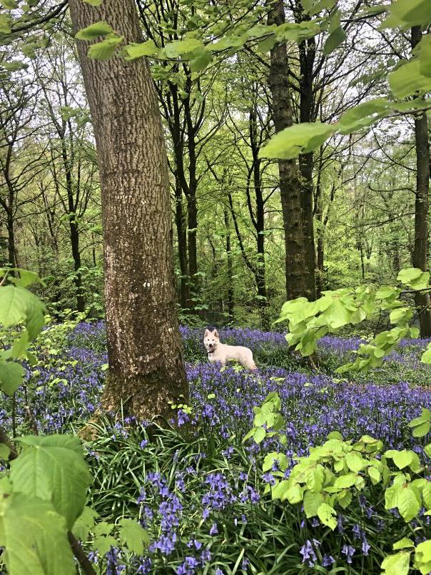 portglenone-forest-bluebells-northern-ireland12.jpg