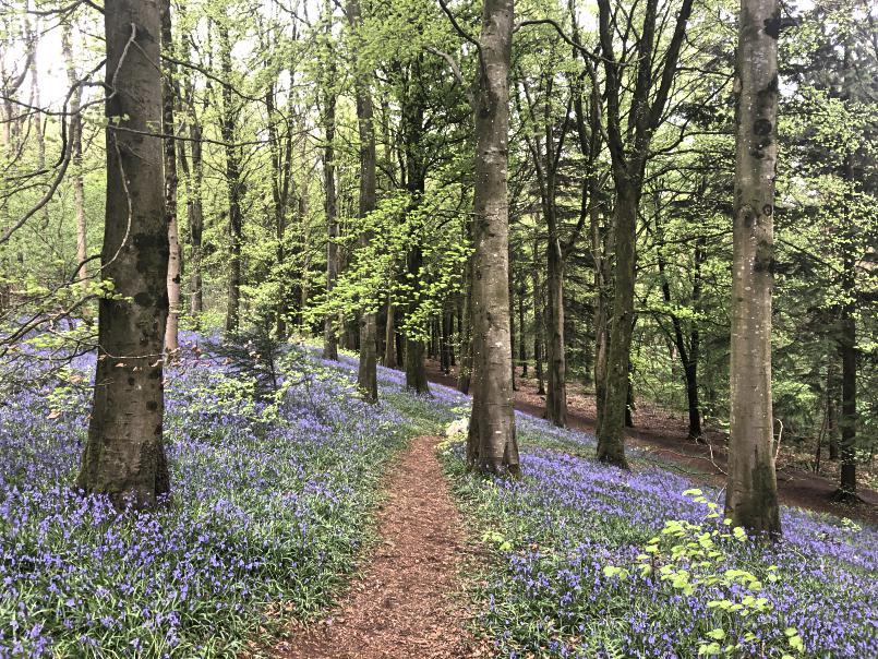 portglenone-forest-bluebells-northern-ireland11.jpg