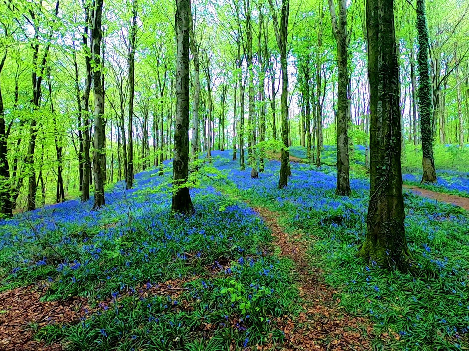 portglenone-forest-bluebells-northern-ireland-2019.jpg