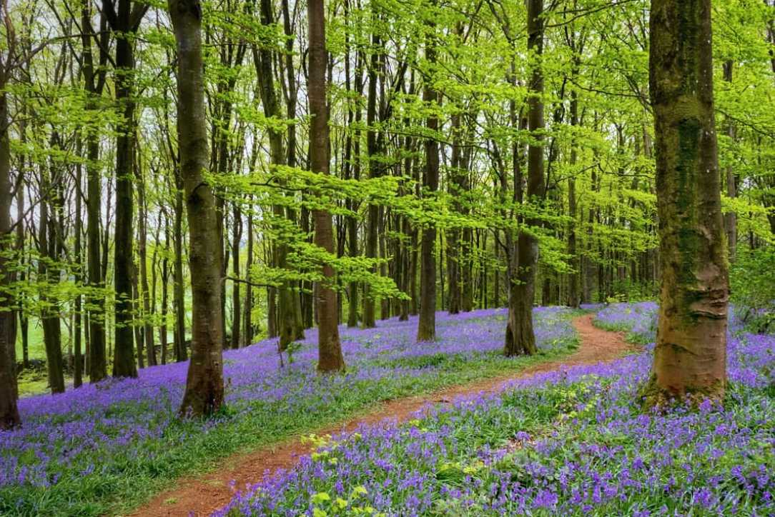 BEST PLACES TO SEE BLUEBELLS - IN NORTHERN IRELAND