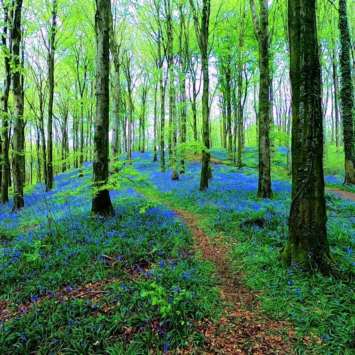 BLUEBELL TRAIL  - PORTGLENONE FOREST