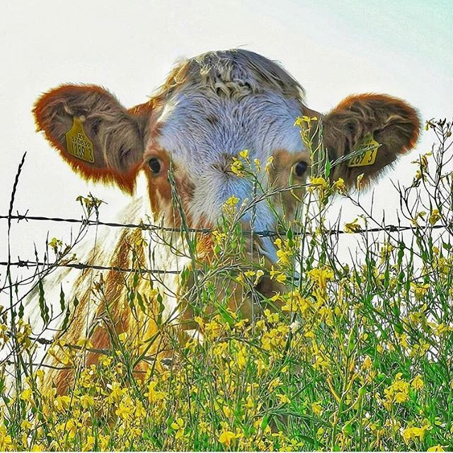"""📸 Fan Pic Friday 1/3 by @smeatslscapes: """"Peaking over the fence 🐮"""" 🔻 Thanks to all for tagging #NIEXPLORER in your pics the past week and for voting in yesterday's Insta Story shortlist. 🔻 FAN PIC FRIDAY - Showcasing YOUR adventures around #NorthernIreland - giving others ideas for things to see & do 🙌 🔻 #fanpicfriday #createadventure #creatememories #goodtimes #adventure #roadtrip #roadtrips #ireland #ireland🍀 #adventures #weekend #photography #loveireland  #discoverni #loveni #exploring #weekendadventures #familyadventures #cow #cowsofinstagram #cows"""