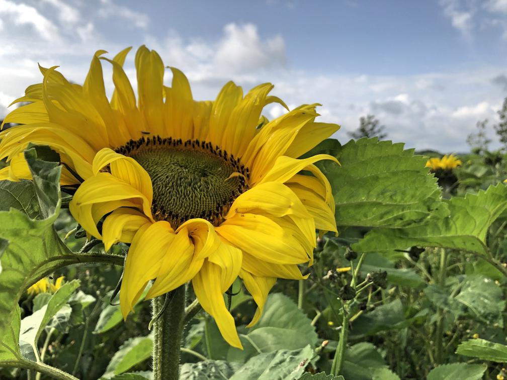 portglenone-sunflower-field-northern-ireland17.jpg