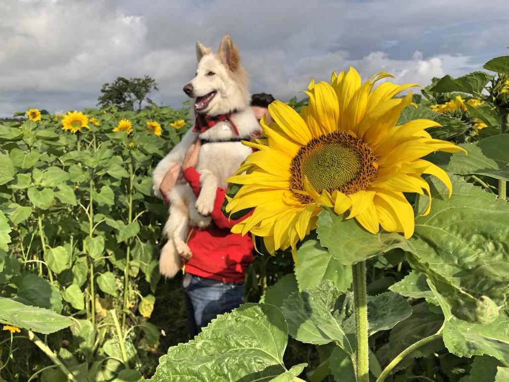 portglenone-sunflower-field-northern-ireland14.jpg