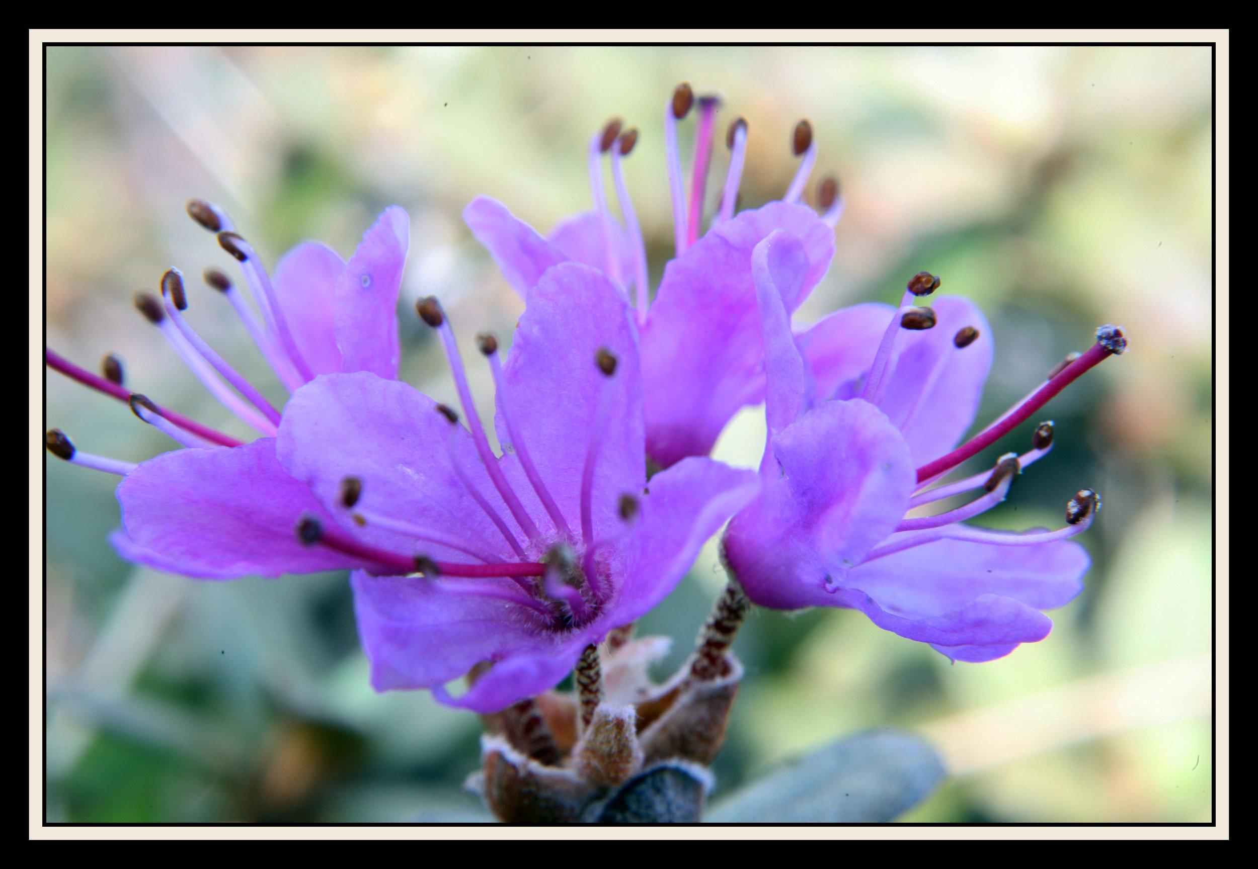 StockardRhododendron2009_June_ 13