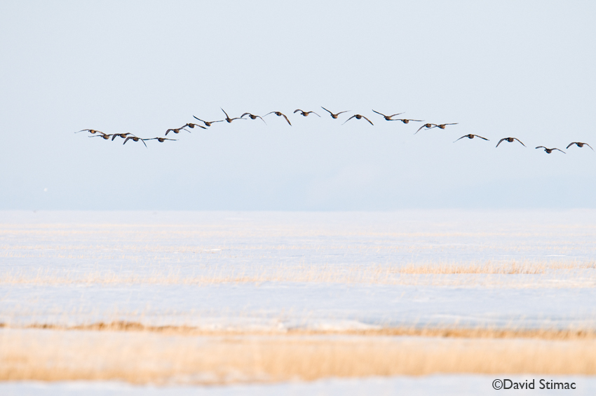 A flock of Brant geese soar overhead. Photo by David Stimac