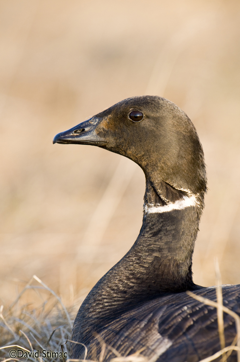 A female Brant goose. Photo by David Stimac