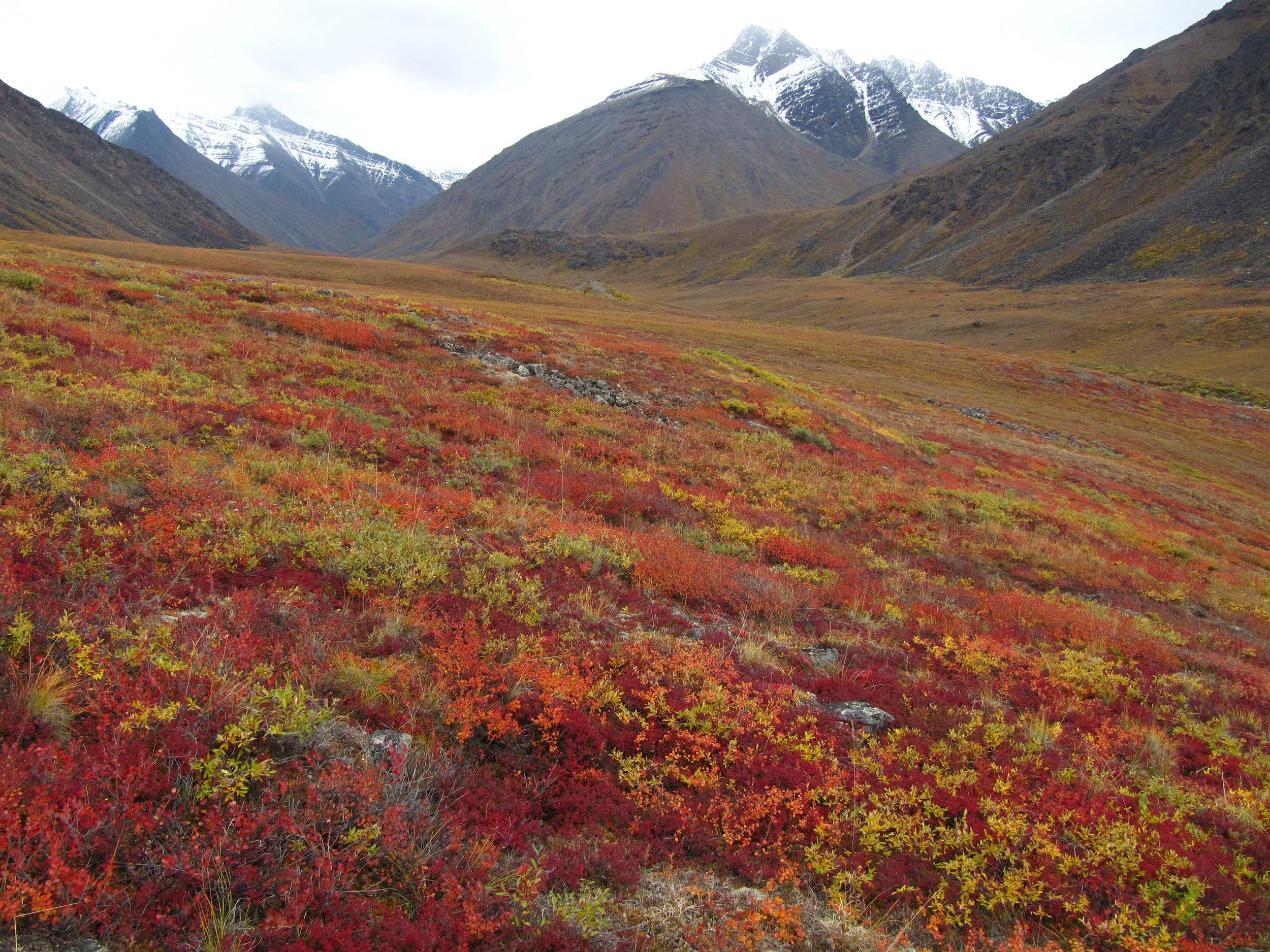 Autumn colors sweep across the tundra near Galbraith Lake. Photo by Jason Neely