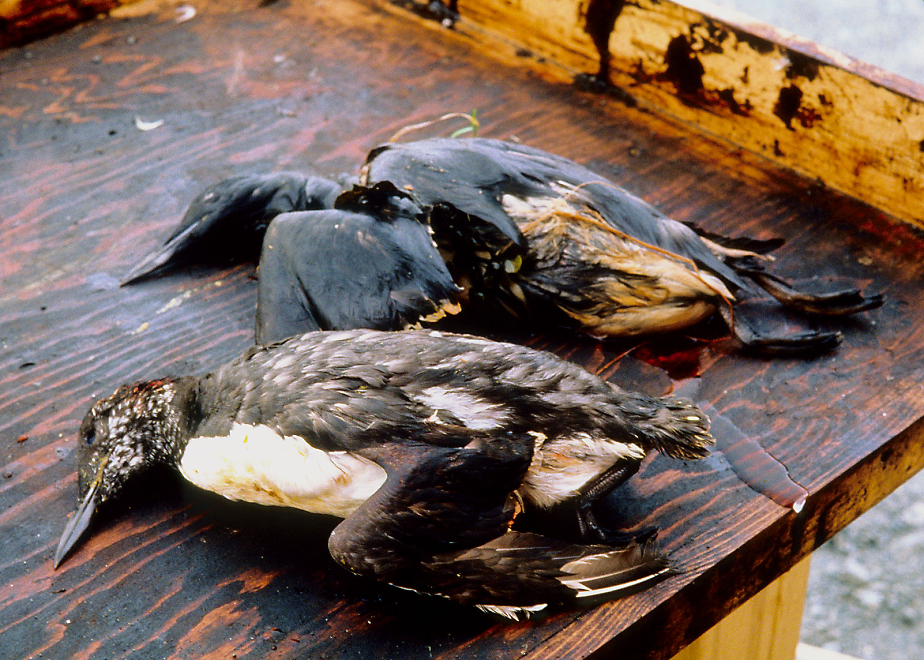 ducks-www-conservationreport.jpg
