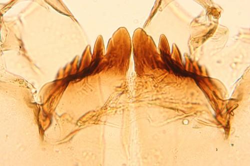 heterotrissocladius