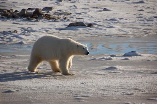 polar_bears1_h