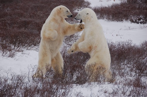 polar_bears4_h