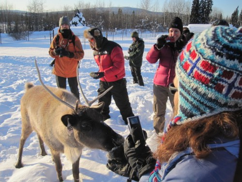 feeding_reindeer